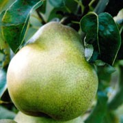'Doyenne du Comice' is a compact, deciduous pear tree, with white flowers in spring. In early autumn it produces sweet, golden green fruit that is tinged pink. It will grow from 2.5 - 8 m depending on the rootstock. Pyrus communis 'Doyenne du Comice' added by Shoot)