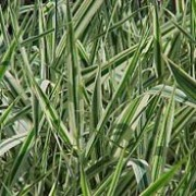 'Feesey' is an evergreen grass.  It has green and white striped, strap-shaped, arching leaves that may be pink-tinted in spring and unexciting narrow panicles of spikelets in summer.  Phalaris arundinacea var. picta 'Feesey'  added by Shoot)