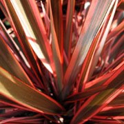 'Maori Chief' is an evergreen, clump-forming perennial with leathery, short, arching, sword shaped leaves that are striped pink, red and bronze. It produces upright spikes of orange-red flowers in summer. Phormium 'Maori Chief' added by Shoot)