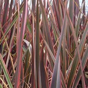 'Maori Queen' is an evergreen, clump-forming perennial with leathery, short, arching sword shaped leaves that are olive-green with rose-red edges that fade to cream. Phormium 'Maori Queen' added by Shoot)