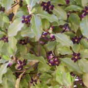 P. tenuifolium is a rounded, evergreen shrub that has glossy, green leaves with wavy margins. From late spring to early summer, it produces a scattering of small, fragrant maroon flowers.  Pittosporum tenuifolium added by Shoot)