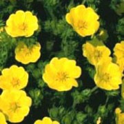 'Warrenii' is a clump-forming, herbaceous perennial with palmately compound, dark green leaves. Rose-like, yellow flowers appear in spring and throughout summer. Potentilla recta 'Warrenii' added by Shoot)