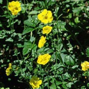'Yellow Queen' is a clump-forming, herbaceous perennial with palmately compound, dark green leaves. Saucer shaped, yellow flowers appear throughout summer. Potentilla 'Yellow Queen' added by Shoot)