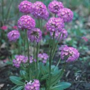 'Lilac' is an herbaceous perennial that has oblong, spoon-shaped green leaves, and stout stems that bare a sphere of closely packed, tiny lilac-purple flowers in spring until early summer. Primula denticulata 'Lilac' added by Shoot)