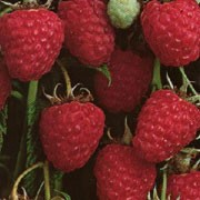 'Glen Prosen' is a raspberry with thornless stems and large, firm, red fruit with a good flavour in mid-summer. This variety crops well and is easy to grow and control. Rubus idaeus 'Glen Prosen' added by Shoot)