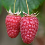 'Tulameen' is a raspberry with sparse thorned canes and large, sweet, dark-pink fruit  in mid-summer. This variety crops well and has a good shelf life. Rubus idaeus 'Tulameen' added by Shoot)