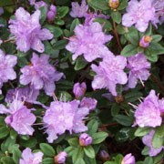 'Ramapo' is a tiny, evergreen, aromatic shrub with green leaves and blue-green new growth. It has trumpet flowers that are blue-violet in spring.  Rhododendron 'Ramapo' added by Shoot)