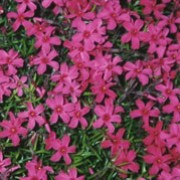 'Temiskaming'  is a mat-forming, evergreen perennial.  It has dark green, linear foliage and, in spring, is covered with deep pink flowers. Phlox subulata 'Temiskaming'  added by Shoot)