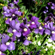 Aromatica Royal is a compact, half-hardy annual.  It has dark-green, lance-shaped leaves and in summer is covered with violet-blue, two-lipped flowers with yellow throats that are sweetly fragrant. Nemesia Aromatica Royal added by Shoot)