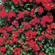 'Sparkling Scarlet' is a medium, deciduous climbing rose with green leaves and long lasting, semi-double, scarlet roses that repeat throughout summer. Rosa 'Sparkling Scarlet' added by Shoot)