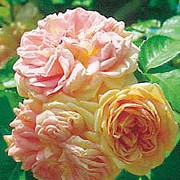 'Alchemist' is a shrub or large, deciduous, climber with mid-green leaves. In the summer it has fragrant, orange, fading to yellow flowers that are full double blooms. Rosa 'Alchemist' added by Shoot)