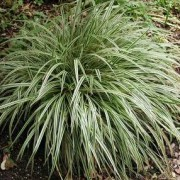 (05/04/2018) Carex 'Silver Sceptre' added by Shoot)