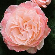 'English Miss' is a deciduous, upright, floribunda type rose with green leaves. It has pale-pink flowers that bloom repeatedly from late spring. It has good disease resistance. Rosa 'English Miss' added by Shoot)