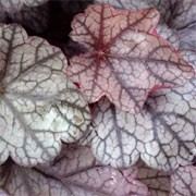 'Silver Scrolls' forms a compact clump of ruffled silvery, red-purple leaves and small pale green flowers in summer. Heuchera 'Silver Scrolls' added by Shoot)