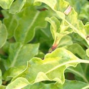 'Loxhill Gold' is a compact, evergreen shrub with golden leaves edged in green. Pittosporum tenuifolium 'Loxhill Gold' added by Shoot)
