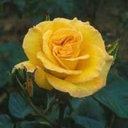 'Top Rose' is a small, upright, deciduous, floribunda type rose with green leaves. It has fragrant, deep yellow flowers that bloom repeatedly throughout the season. Rosa 'Top Rose' added by Shoot)