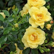 (02/07/2018) Rosa 'Flower Carpet Gold' added by Shoot)