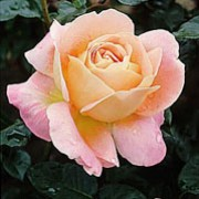 'Alpine Sunset' is an upright, deciduous, hybrid tea type rose bush. It has glossy. Green leaves and pink-apricot flowers with yellow centres that bloom from spring until the autumn. It has good disease resistance. Rosa 'Alpine Sunset' added by Shoot)