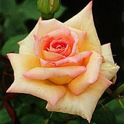 'The Lady' is a deciduous, upright, hybrid tea type rose. It has glossy, green leaves and yellow flowers flushed pink throughout the summer. Rosa 'The Lady' added by Shoot)