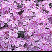 'Tamaongalei' is a low, mat-formining, evergreen perennial with linear foliage.  In sring it is covered with white, salver-shaped flowers with pink markings. Phlox subulata 'Tamaongalei'  added by Shoot)