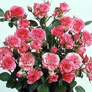'Carefree Days' is a miniature patio rose. It is a small, semi-evergreen shrub with dark-green, glossy leaves and clusters of fuschia-pink flowers in summer and autumn. Rosa 'Carefree Days' added by Shoot)
