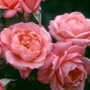 'Star Performer' is a miniature, climbing, patio rose. It has small, glossy, green leaves and fragrant, satin pink flowers that bloom from late spring until autumn. Rosa 'Star Performer' added by Shoot)