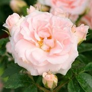 'Lovely Bride'  is a miniature patio rose. It is a small, bushy, semi-evergreen shrub with mid-green, glossy leaves and clusters of very small, soft pink flowers with yellow centres that bloom from summer until autumn. Rosa 'Lovely Bride'  added by Shoot)