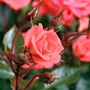 'Sunseeker' is a patio rose. It is a small bush with glossy, green leaves and slightly fragrant, red flowers with yellow centres, opening from late spring until late summer. Rosa 'Sunseeker' added by Shoot)
