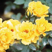 'Yellow Patio' is a patio rose. It is a small, deciduous bush with mid-green leaves and slightly fragrant, deep yellow flowers from late spring throughout the summer. Rosa 'Yellow Patio'   added by Shoot)