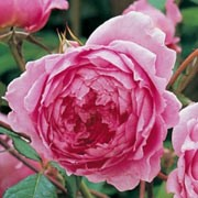 'Alan Titchmarsh' is a repeat flowering shrub rose. It is an upright, bushy shrub with thorny stems and shiny, bright-green foliage. In summer and autumn it bears large, deep pink flowers with many petals and an old rose fragrance.  Rosa 'Alan Titchmarsh' added by Shoot)