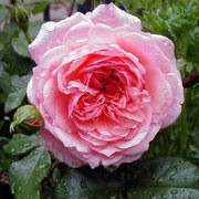 'Anne Boleyn' is a repeat flowering shrub rose. It is an upright, short, arching shrub with deep-green foliage. From late spring until late summer it bears fragrant, large, light pink flowers with many petals. Rosa 'Anne Boleyn' added by Shoot)