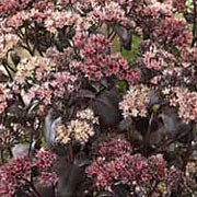 'Postman's Pride' is a mid-sized herbaceous perennial with purple, succulent, spoon-shaped leaves.  In late summer, it bears umbels of pink flowers that open from purple buds. Sedum 'Postman's Pride'  added by Shoot)