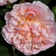 'Evelyn' is an upright, repeat flowering, shrub rose with green leaves. It has large, shallow, saucer-shaped flowers that are apricot and bloom throughout the summer. Rosa 'Evelyn' added by Shoot)
