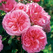'Hyde Hall' is an extremely hardy variety of shrub rose that is larger than average. It has green leaves and excellent repeat-flowering qualities throughout summer. Blooms are soft pink and have a delicate and fruity fragrance. Rosa 'Hyde Hall' added by Shoot)