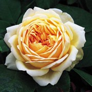 'Jude the Obscure' is an upright, shrub rose with green leaves and large, fragrant, double, yellow and apricot flowers that bloom throughout summer and occasionally again in autumn. This cultivar is known for its disease resistance. Rosa 'Jude the Obscure' added by Shoot)