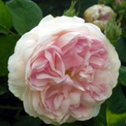 'Maidens Blush' is an upright shrub rose with blue-grey leaves. It has an abundance of sweet smelling, soft, blush-pink blooms in summer. Rosa 'Maidens Blush' added by Shoot)