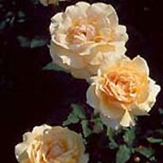 'Sophia' is an upright, shrub rose with green leaves. It has honey scented, yellow and white flowers that bloom throughout summer. Rosa 'Sophia Renaissance' added by Shoot)