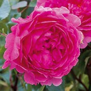 'Wisley' is an upright, shrub with arching branches and glossy, green leaves. It has dark pink, fragrant, cupped, nodding flowers that repeat blooming throughout summer. Rosa 'Wisley' added by Shoot)