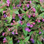 'Margery Fish'  is a clump-forming perennial with silver-spotted, dark-green leaves.  In spring, it bears clusters of pink, tubular flowers that age to blue and purple. Pulmonaria 'Margery Fish'   added by Shoot)