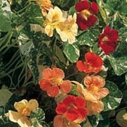'Alaska Mix' is a climbing or trailing annual.  It has rounded green leaves with cream mottling and in summer bears flowers in a variety of colours, being red, orange or yellow. Tropaeolum majus 'Alaska Mix' added by Shoot)