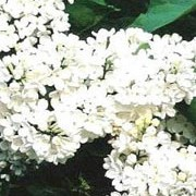 'Madame Florent Stepman' is large deciduous shrub with lance-shaped leaves.  From late spring to early summer, it bears large dense panicles of fragrant, white flowers. Syringa vulgaris 'Madame Florent Stepman' added by Shoot)