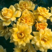 Good as Gold is a miniature patio rose with glossy mid-green leaves.  From late-spring to early-autumn, it bears fragrant, golden-yellow flowers. Rosa Good as Gold added by Shoot)