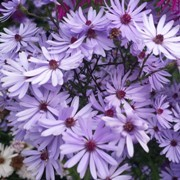 (20/09/2017) Aster 'Little Carlow' (cordifolius hybrid) added by Shoot)