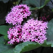 Clerodendrum bungei added by Shoot)