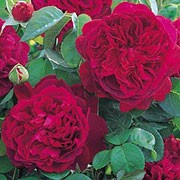 William Shakespeare 2000 is a shrub rose.  It is a compact, upright shrub with mid-green leaves and sweetly scented, double, cup-shaped, deep crimson flowers that age to a rich purple. Rosa 'William Shakespeare 2000' added by Shoot)