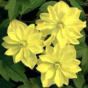 'Morning Yellow' is a deciduous climbing shrub with divided dark-green leaves.  In spring, it bears semi-double, pale-yellow flowers that fade to white. Clematis 'Morning Yellow'  added by Shoot)