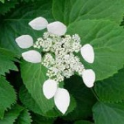 'Moonlight' is an upright, self-supporting climber that has silver-marbled foliage and attractive, heart shaped leaves that turn orange and yellow in the autumn. In summer it has large clusters of ivory-white flowers with conspicuous heart-shaped, cream coloured bracts. Schizophragma hydrangeoides 'Moonlight' added by Shoot)