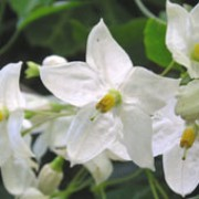 'Album' is a semi-evergreen, perennial climber with slender twining  stems. It has deeply cut, dark green foliage and white flowers in tight clusters that appear in summer.  Solanum jasminoides 'Album' added by Shoot)