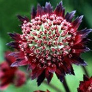 'Bloody Mary' is a clump-forming perennial with deeply divided, palmate, dark green leaves and branching stems bearing umbels of dark red flowers with silver centres in summer and autumn. Astrantia 'Bloody Mary' added by Shoot)