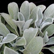 'Silver Carpet' is a mat forming perennial that is evergreen in mild climates.